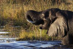 African Elephant - Botswana - stock photo