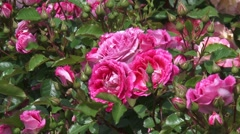 Floribunda Rose Lets Celebrate blooming in pink mauve clusters + zoom out Stock Footage