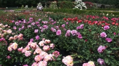 Rose nursery with coloured rows of blooming roses. People in background Stock Footage