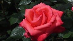 Large flower of the Rosa Ave Maria, salmon-orange hybrid tea rose Stock Footage