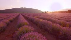 Beautiful Lavender Field Violet Flowers Blossom Blooming Aerial View Close Up Stock Footage