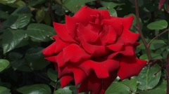 Large velvety red flower of the Rosa Ingrid Bergman, a hybrid tea rose Stock Footage
