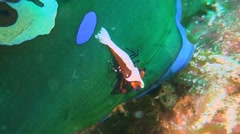 Emperor shrimp on a Dorid Nudibranch Stock Footage