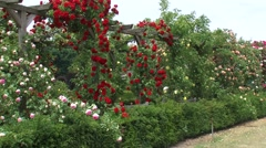 Arch of roses blooming in red pink and yellow - side view Stock Footage