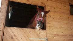 Horse nods Stock Footage