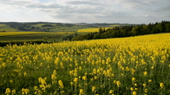 Yellow rape field in bloom with blue sky and clouds Stock Footage