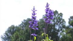Purple Flower in a field. Blue Salvia Stock Footage