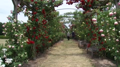 Elderly people walking under an arch of roses, blooming in red pink and yellow - stock footage