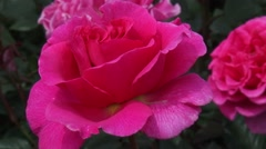 Large pink flower of the Rosa Princess Alexandra of Kent. Stock Footage