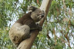 Australian koala bear on eucalyptus tree, Victoria, Australia. Stock Photos