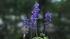 Purple Flower in a field. Blue Salvia Stock Footage