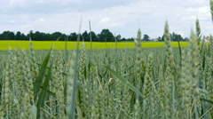 Unripe wheat sways in the wind Stock Footage