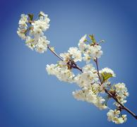 A branch of the cherry blossoms. Vintage retro hipster style version Stock Photos
