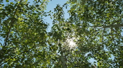 Looking up-wind blowing in Quaking Aspen with sun flare flickering - stock footage