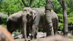 Asian elephants walking in wild animal park - stock footage