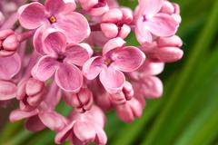 Macro image of spring lilac violet flowers Stock Photos