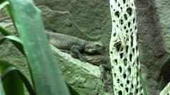 Chuckwalla Lizard on a rock Stock Footage