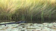 Stock Video Footage of Large American alligator swimming through swamp