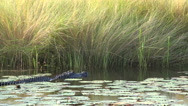 Stock Video Footage of Large American alligator swimming through swamp