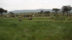 Sheeps and cows grazing grass, Samburu, Kenya, long shot Stock Footage