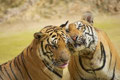 Two Indochinese tigers rub cheeks. Stock Photos