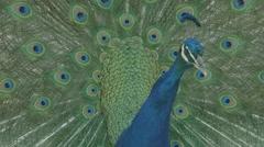 Male Peafowl Dancing Stock Footage