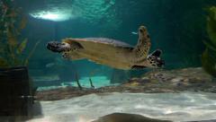 Turtle swimming in Aquarium Stock Footage