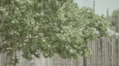Cotton Blowing in the wind from a Cottonwood Tree Stock Footage