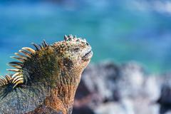 Marine Iguana and Blue Background in Galapagos - stock photo