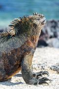 Marine Iguana Vertical in Galapagos - stock photo