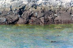Marine Iguanas in Galapagos - stock photo