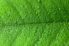 Green leaf with water drops - studio shot Stock Photos