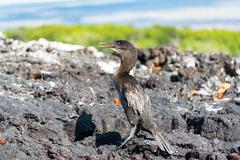 Flightless Cormorant in Galapagos - stock photo