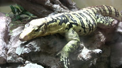 Yellow banded philippine water monitor lizard Stock Footage