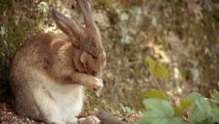 Small Rabbit Rubbing his nose Stock Footage