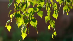 Birch catkin tree branch in summer morning light - stock footage