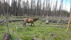 Bull Elk walking burnt forest Yellowstone NP 4K Stock Footage