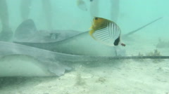 Stingray swimming over seabed, Bora Bora, French Polynesia Stock Footage