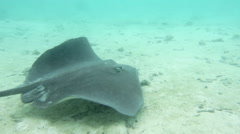 Stingray swimming over seabed, Bora Bora, French Polynesia - stock footage