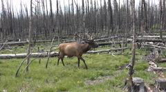Bull Elk Yellowstone walking burned forest nature 4K Stock Footage