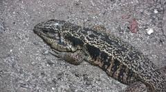 Golden Tegu lizard Stock Footage