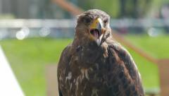 Harris's hawk. Parabuteo unicinctus. Bird of prey Stock Footage