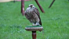 Stock Video Footage of Saker falcon. Falco cherrug. Bird of prey