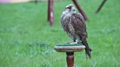 Saker falcon. Falco cherrug. Bird of prey Stock Footage