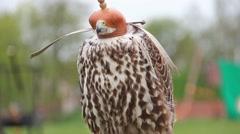 Stock Video Footage of Saker falcon in a cap. Falco cherrug. Bird of prey
