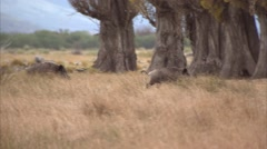 2 BOARS RUNNING Stock Footage