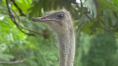 Headshot of an ostrich in park, Galapagos Island, Ecuador - stock footage