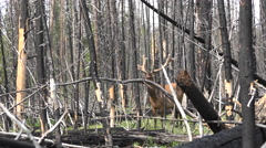 Burnt forest Yellowstone NP bull elk large antlers 4K Stock Footage