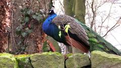 Peacock bird, peafowl bird - stock footage
