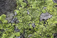Yellow map lichen on a grey granitic rock. - stock photo